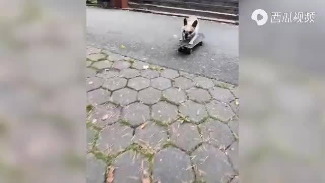 成精了?俄罗斯斗牛犬硬核玩滑板让网友惊叹