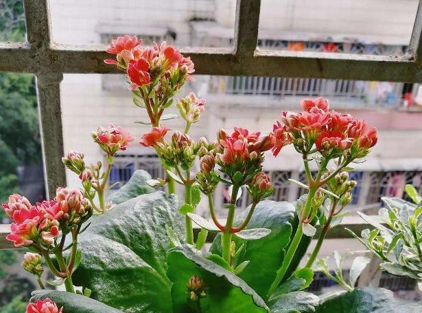 九月养长寿花、蟹爪兰、虎皮兰 剪茎叶育