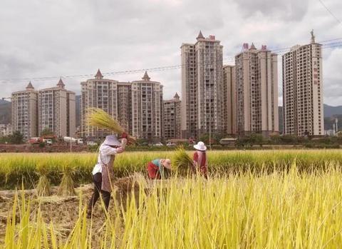 收获的季节!大理南涧稻谷熟了,农户们正忙着打谷子