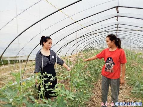 安徽省宿州市薛楼园区艾起雨:种植大棚西红柿 走出脱贫致富路