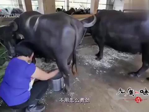老广的味道:水牛以甘蔗尾喂食,产出的牛奶品质更佳