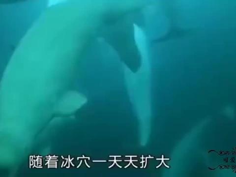 北极熊在冰窟中猎食鲸鱼,失败多次不要紧,成功一次全家不饿!