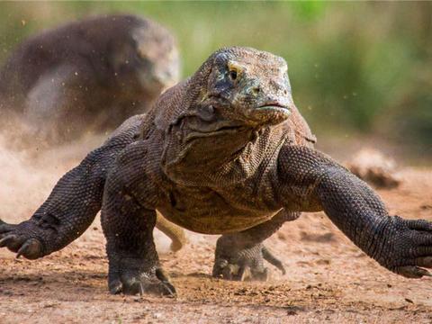 活了4000万年的科莫多龙,能轻松捕食大水牛,20分钟吃掉62斤野猪