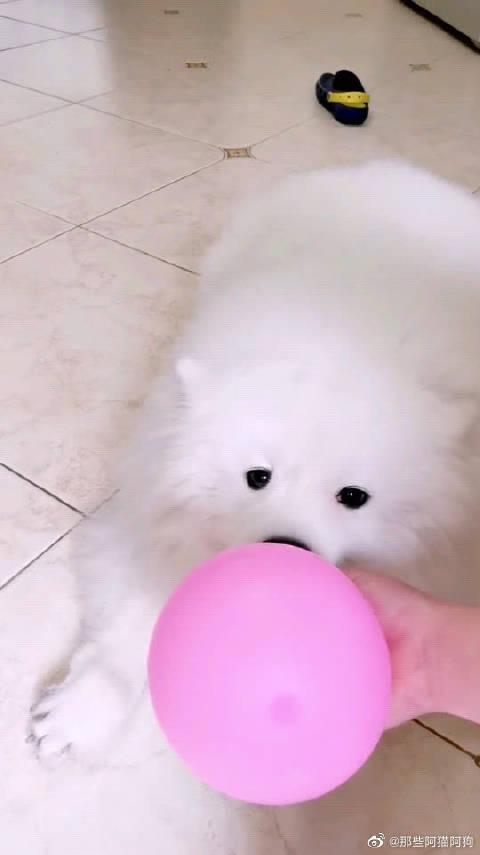 全网唯一一只会吹气球的狗狗,不接受任何反驳!