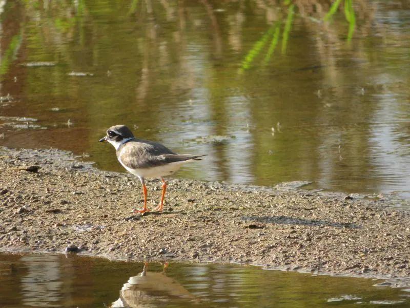 剑鸻、大杓鹬现身,保山青华海鸟类监测记录增至265种