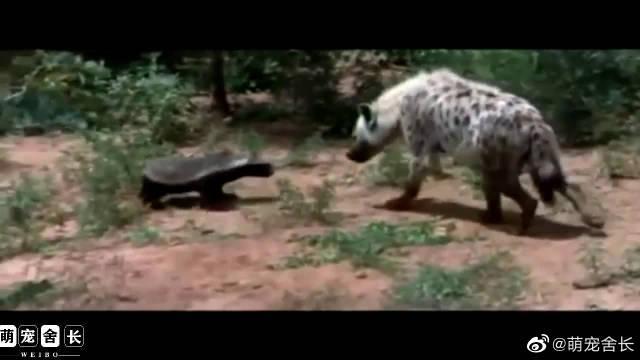 平头哥无所不吃,攻击能力超强,连鬣狗见了也要敬它三分