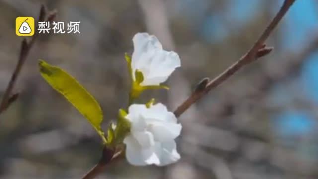 专家详解南京鸡鸣寺春樱秋季绽放:气候小阳春使花产生错觉