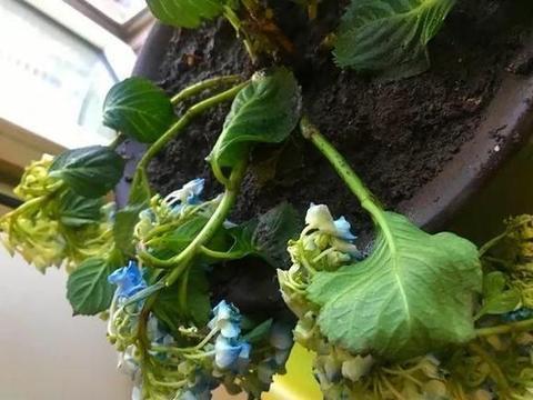 """9月去了花卉市场,在""""垃圾堆""""捡了好多绣球花,明年有花看了"""
