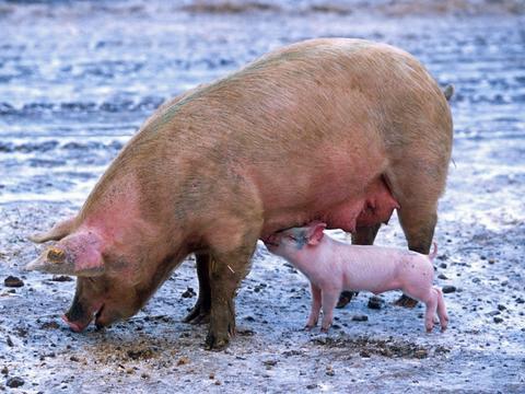 2020年9月23日全国各地最新生猪价格行情走势分析