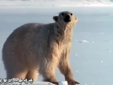 动物世界:北极熊极速跑到冰洞那里,却仍是被小海豹给逃脱了