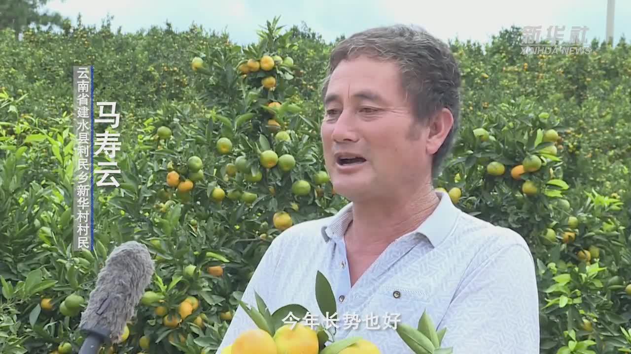 云南建水:15万亩早熟柑橘进入采摘季