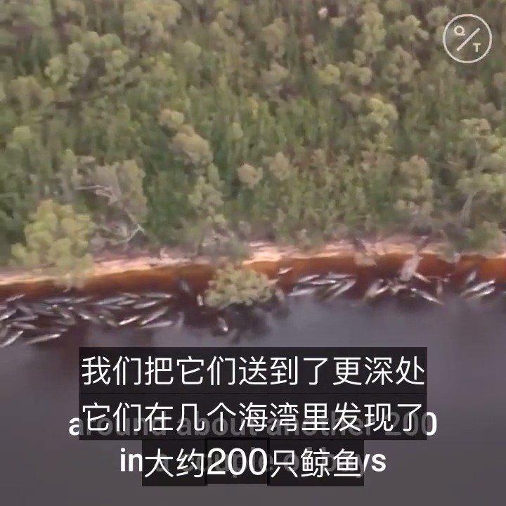最大规模鲸鱼搁浅,澳大利亚380头鲸鱼搁浅死亡
