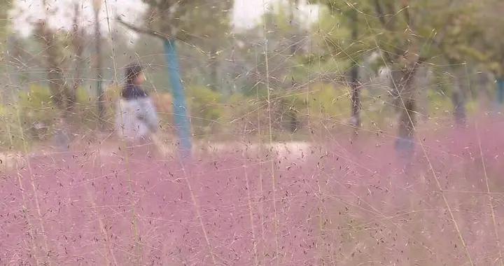 菏泽市单县:粉黛乱子草 花开梦幻