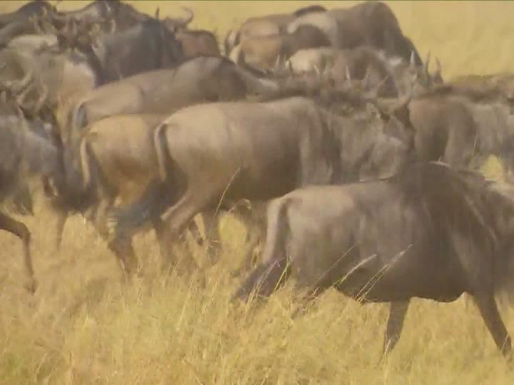 非洲之美丨来马赛马拉,与野生动物同行!