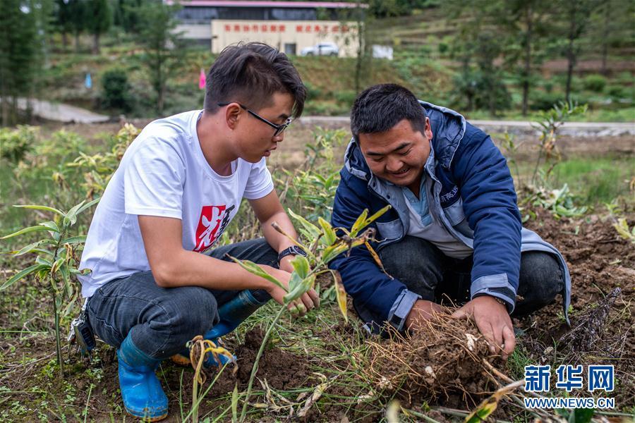 云南镇雄:种植中草药帮助农民增加收入