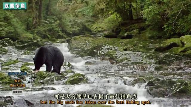黑白双熊溪边争鲑鱼!黑公熊面对凶悍攻击只好认怂回避!