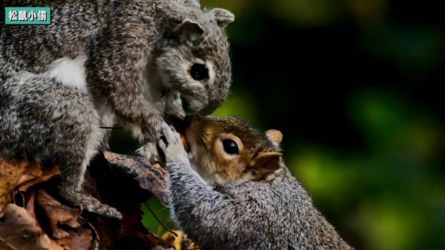 微型世界的丛林大盗!智商超群的小松鼠们多数都不务正业!