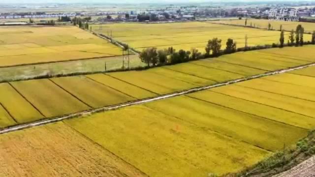 """乌鲁木齐:""""鱼米之乡""""万亩水稻迎丰收"""