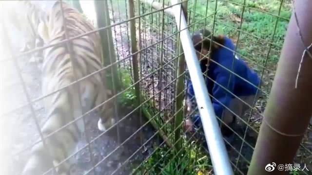 动物园里的大老虎,一点自由都没有,只有给游客围观的份