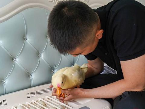 自从养了柯尔鸭,一个手臂就废掉了,基本不能自主行动