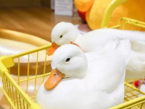 圆润可爱的柯尔鸭好想养一只!别急,养之前要三思!