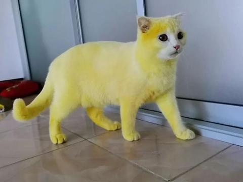 主人为了给猫咪治疗猫癣给它找了个偏方,结果却把猫染成了皮卡丘