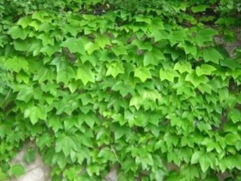 三种地锦属(爬山虎属)植物辨识