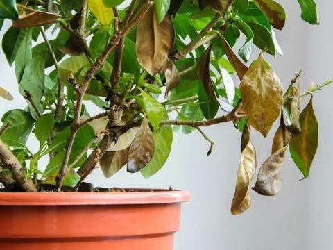 家里的盆栽茶花、茉莉或月季叶子发白,嫩芽枯萎,就是根出问题了