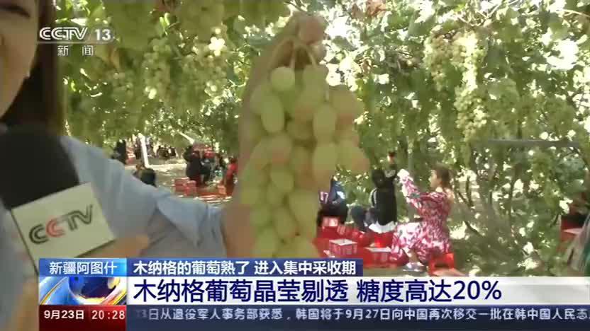 新疆阿图什:木纳格的葡萄熟了 进入集中采收期