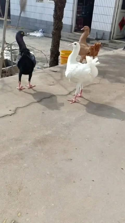 这是鸽子和鸡杂交的全新品种,叫鸽鸡鸽鸡