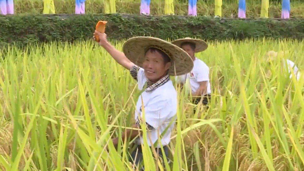 丰收喽!割稻谷、捉田鱼……青田用这些方式玩转丰收节
