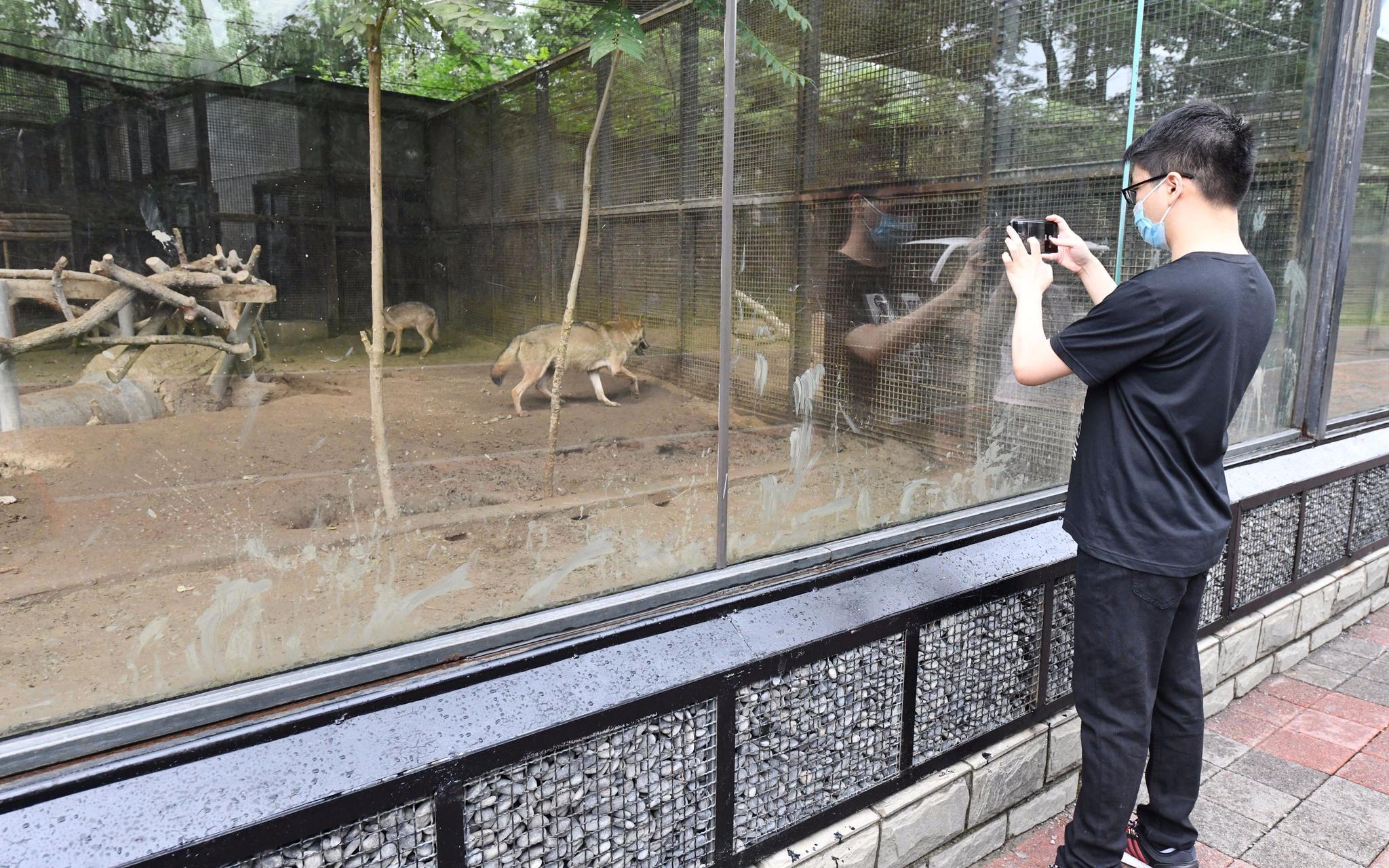 在北京动物园狼展示区,网传视频中旅客投喂的小孔已经铺上了鹅卵石举行物理断绝,有用防备旅客再次投喂。拍照/新京报记者 侯少卿