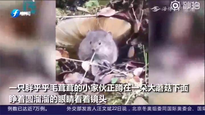 甘孜:原来龙猫打伞是真的?这一幕萌翻了!网友:动画片诚不欺我