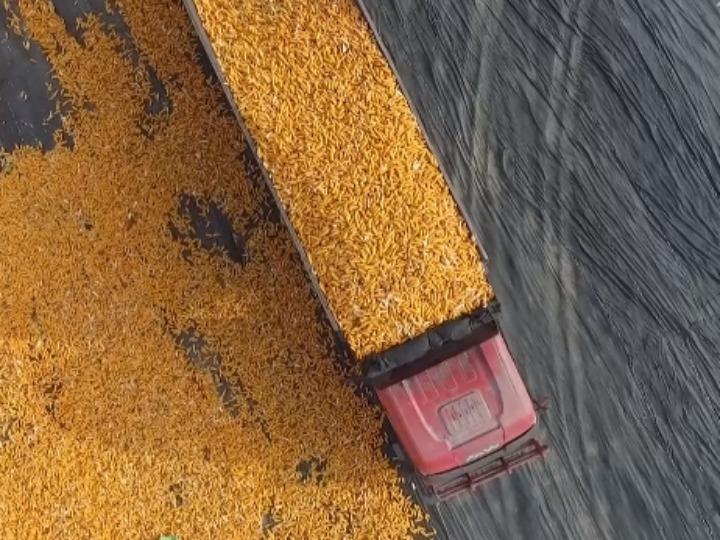 甘肃张掖:制种玉米迎丰收