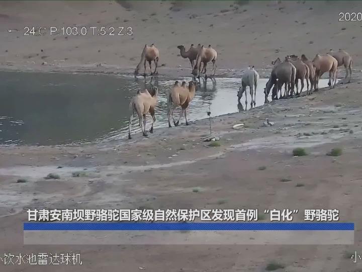 """甘肃安南坝野骆驼国家级自然保护区发现首例""""白化""""野骆驼"""