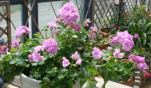 天竺葵养了这么久,总不见花苞,试试这4招,满盆都是花