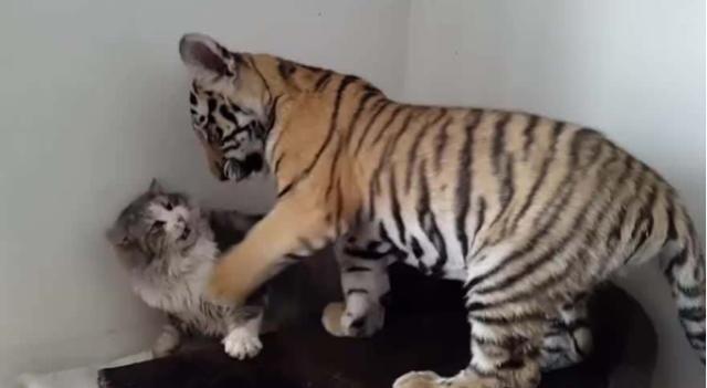 猫咪第一次见到老虎,先扇它两个耳光以示敬意,下一秒憋住别笑!