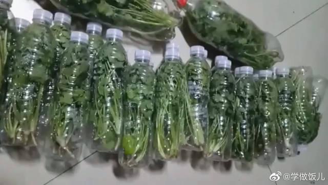 这是我储存了一个月的香菜,现在香菜疯狂涨价……