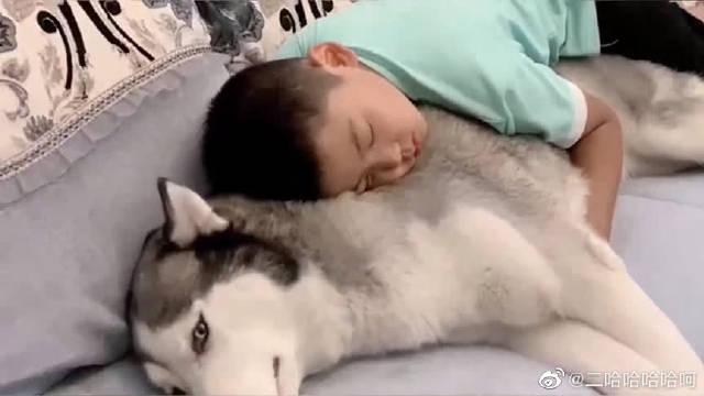 哥哥喜欢抱着二哈睡觉,二哈心甘情愿当哥哥的靠垫!