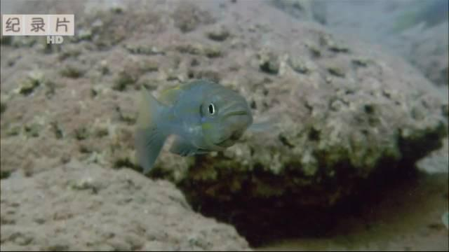 不杀猎物还能美餐一顿?臭名昭著的食鳞怪鱼就是主角儿!