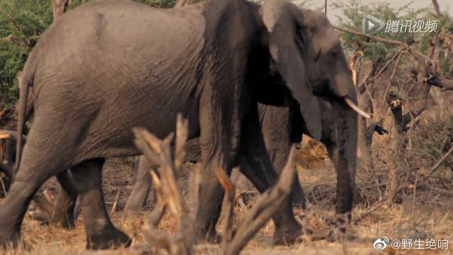 狮群围攻大象血腥一幕,母狮竟能飞身骑上象背撕咬~