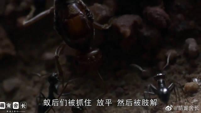蜜蚁后的自杀式繁殖,工蚁将其进行肢解,作为食物喂养幼虫