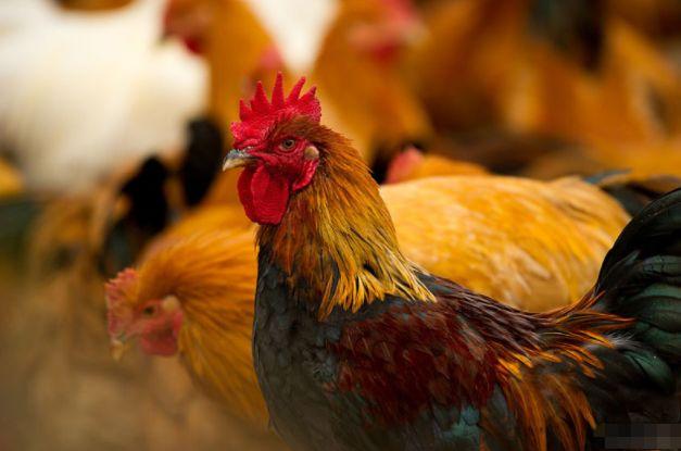 生肖鸡:谁是你的贵人,谁又是你的小人,属鸡的来看看吧!