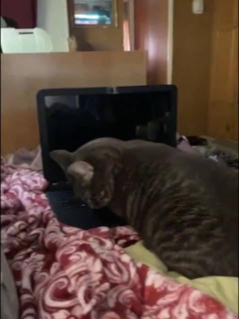 外网网友解密:为什么猫猫总是要来霸占你的电脑……