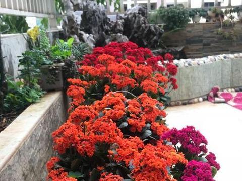 秋季入手宫灯长寿花,盆栽照顾到4点,春节前后花开不间断