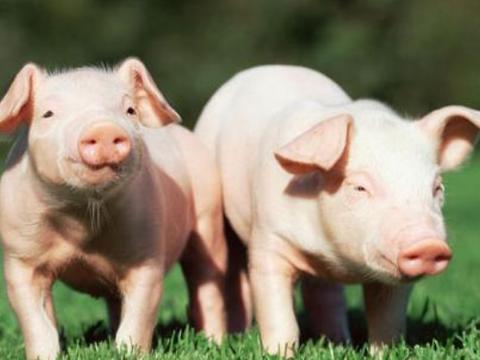 生肖猪:属猪人的最佳配偶,真是天生的一对,一生福气满满!