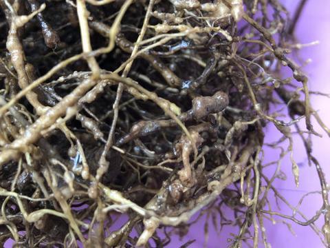 """什么是根瘤菌?是好还是坏?根系上带着""""凸起"""",应该怎么处理"""