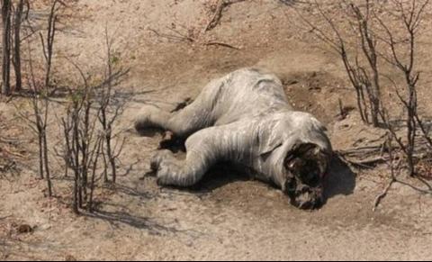 非洲330头大象死亡,倒地前无法辨别方向,这一切竟是蓝藻干的