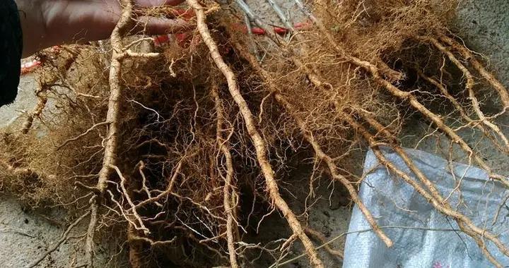 种植两年来说说国内嫁接桃树最优砧木的特性