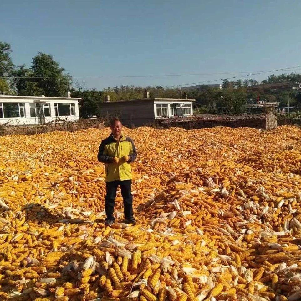 东北玉米要破历史记录,1元/斤以上不是梦